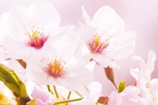 꽃피는 봄